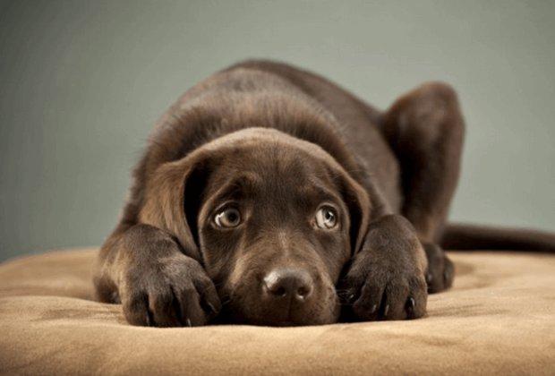 фоспасим для собак