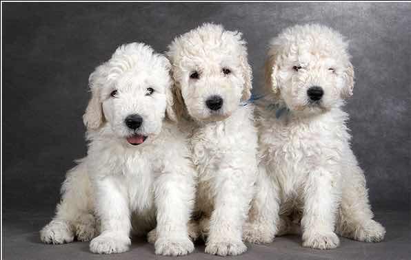размер собак комондор