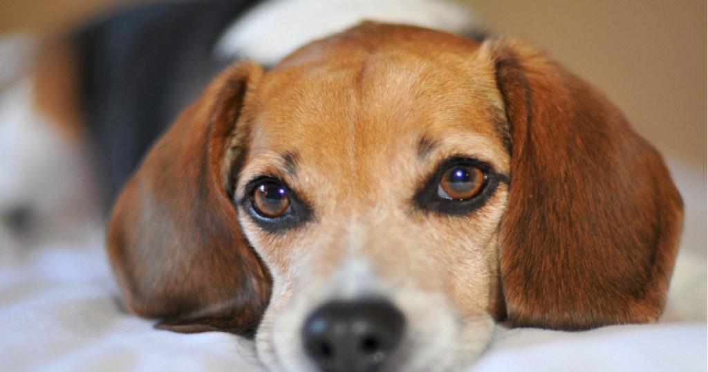 верибен для собак противопоказания