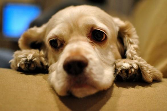 Верибен для собаки