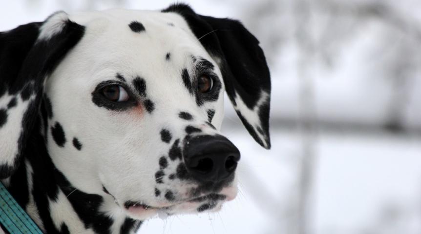 Фиприст для собак состав