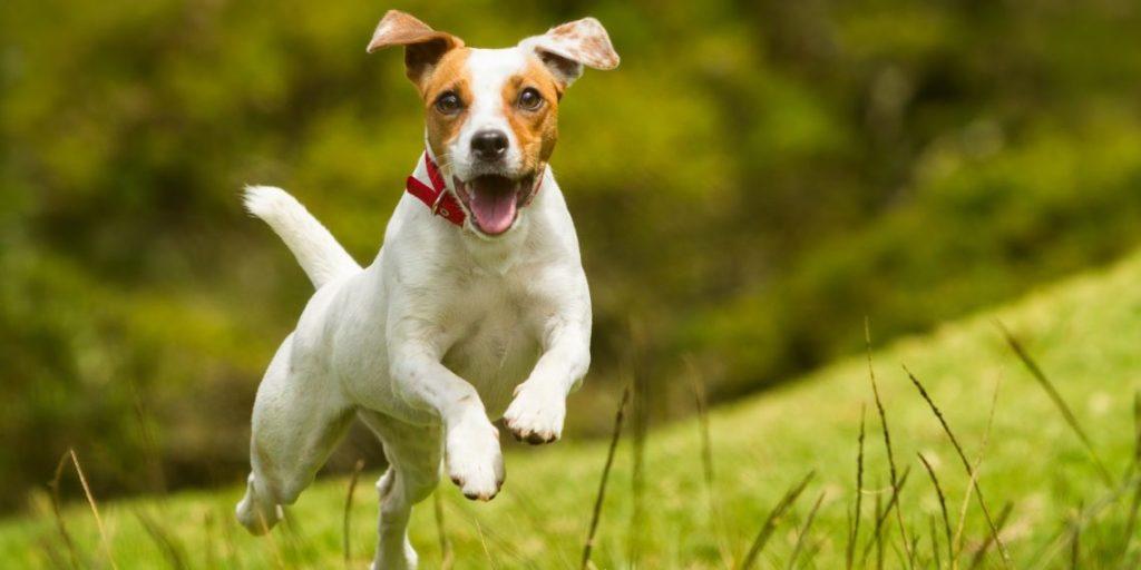 Фиприст для собак дозировка