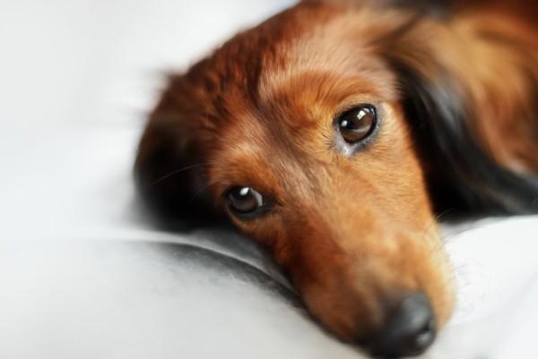 Хелавит для собак противопоказания