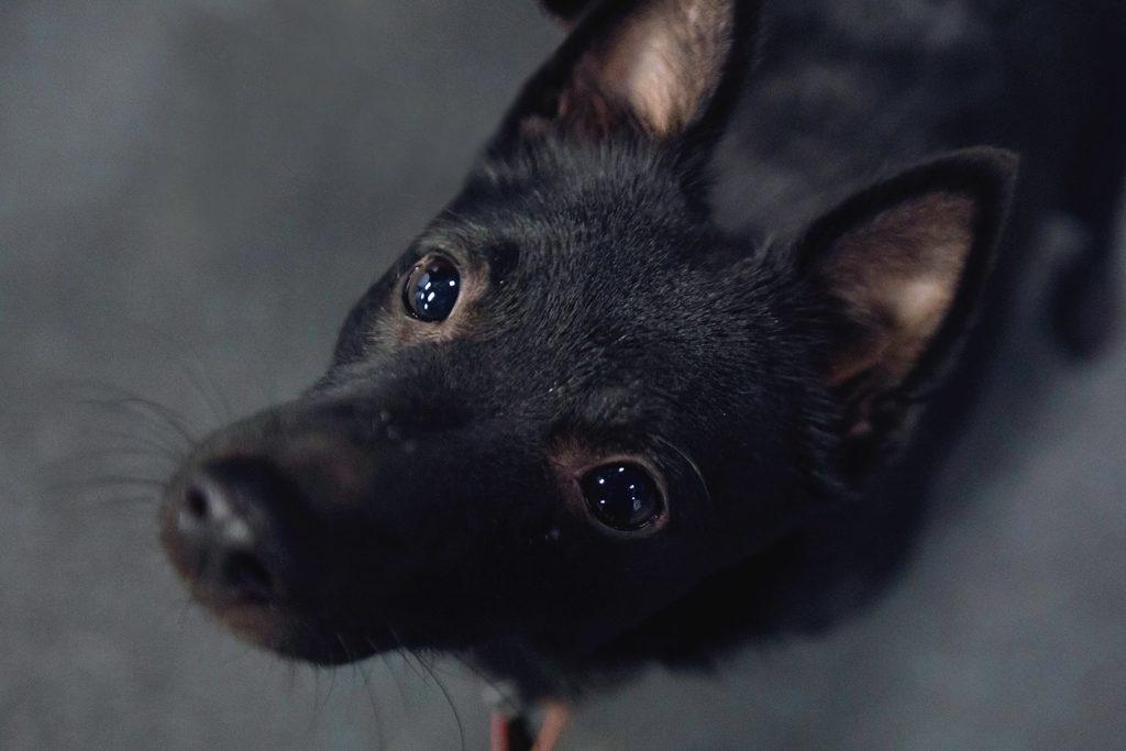 диагностика щелочной фосфатазы у собак