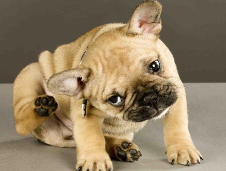 Фиприст для собак обработка