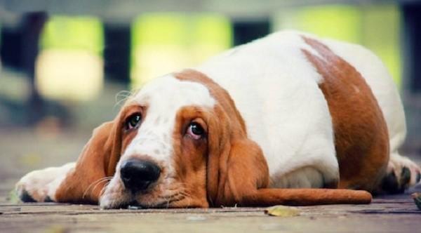 Щелочная фосфатаза у собак — что это такое?