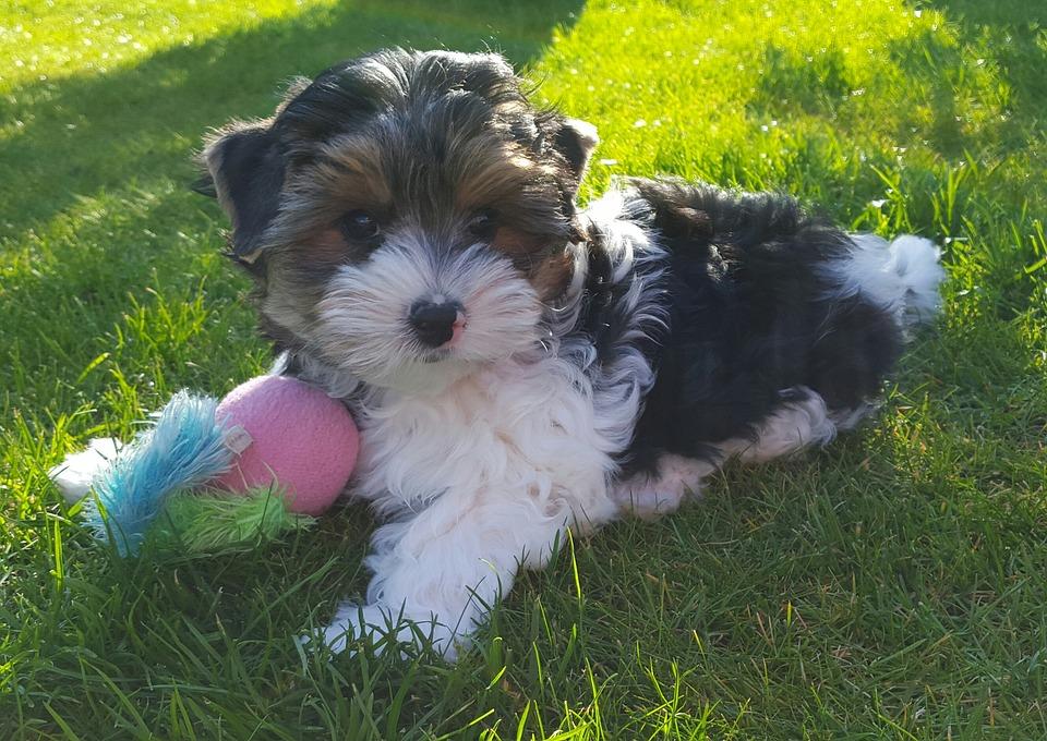 Все о щенках йоркширского терьера: полезные факты