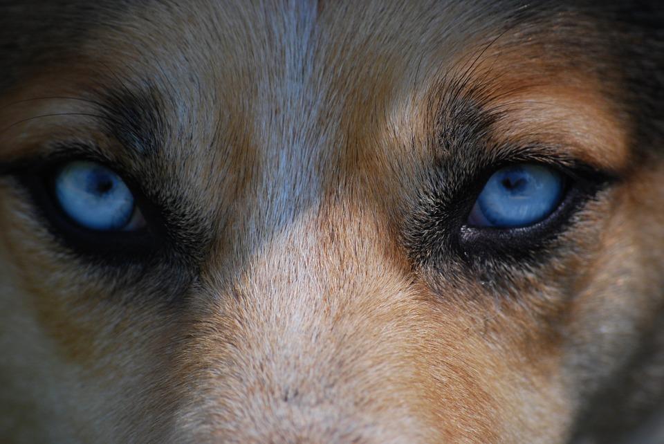 Почему у собаки слезятся глаза: причины и лечение