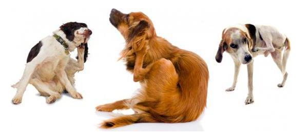 Когда собака чешется: причины, лечение