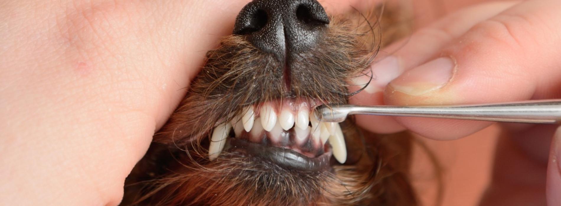 зубы у йоркширского терьера