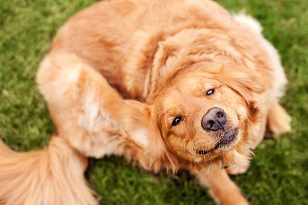 Фиприст для собак — капли от блох, вшей и клещей.
